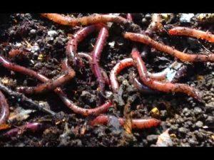 Scrubworms